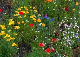 Blumenwiese mit Mohnblumen