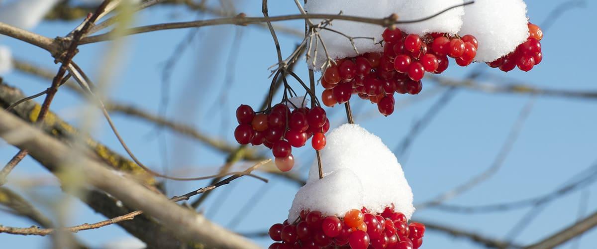 Rote Beeren vom Schnee bedeckt