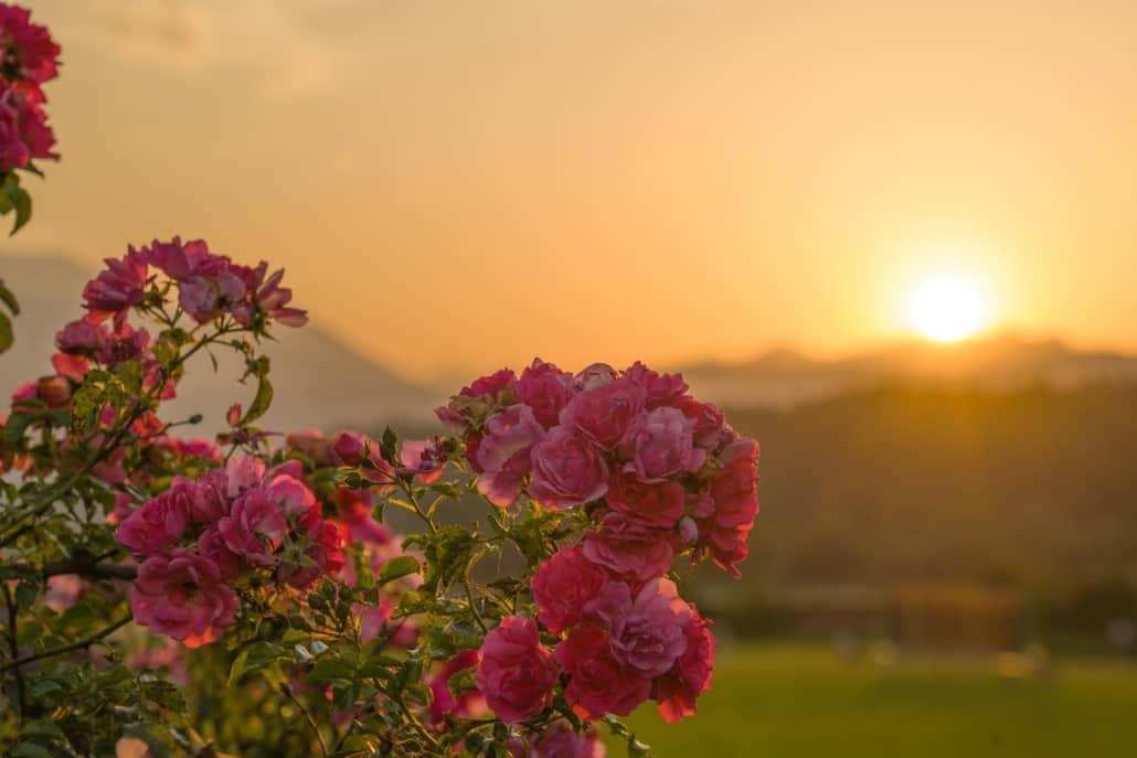 Rosen im Sonnenuntergang mit Abendrot