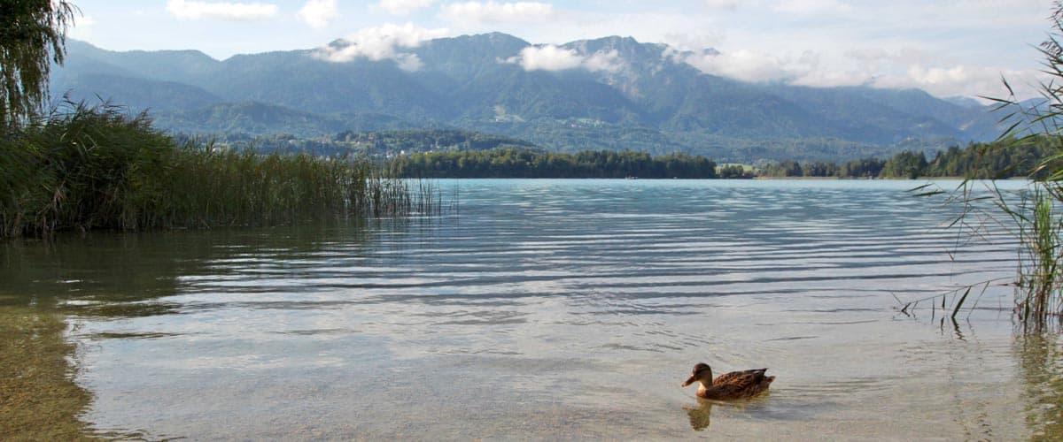 Privater Badestrand im Hintergrund die Karawanken und eine Ente im Wasser