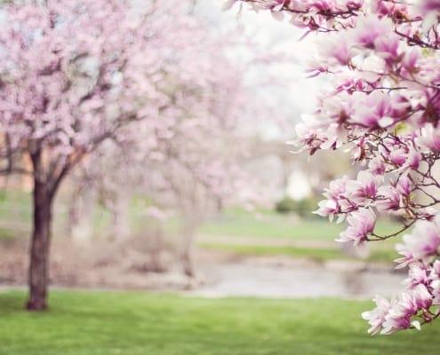 Magnolien in der Natur